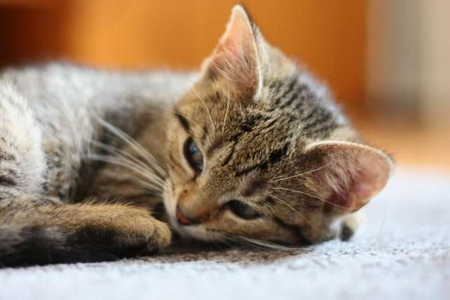 403920425_3_644x461_kociaki-fanta-i-fendi-do-adopcji-osobno-lub-w-dwupaku-koty-bez-rodowodu